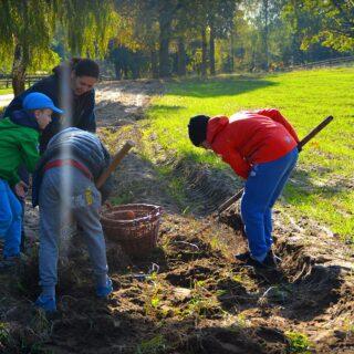 Na zdjęciu widoczne 4 osoby, które wykopują ziemniaki na polu.