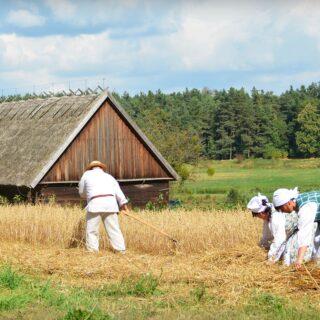 Na zdjęciu znajdują się 4 osoby w czasie koszenia i zbierania żniw.