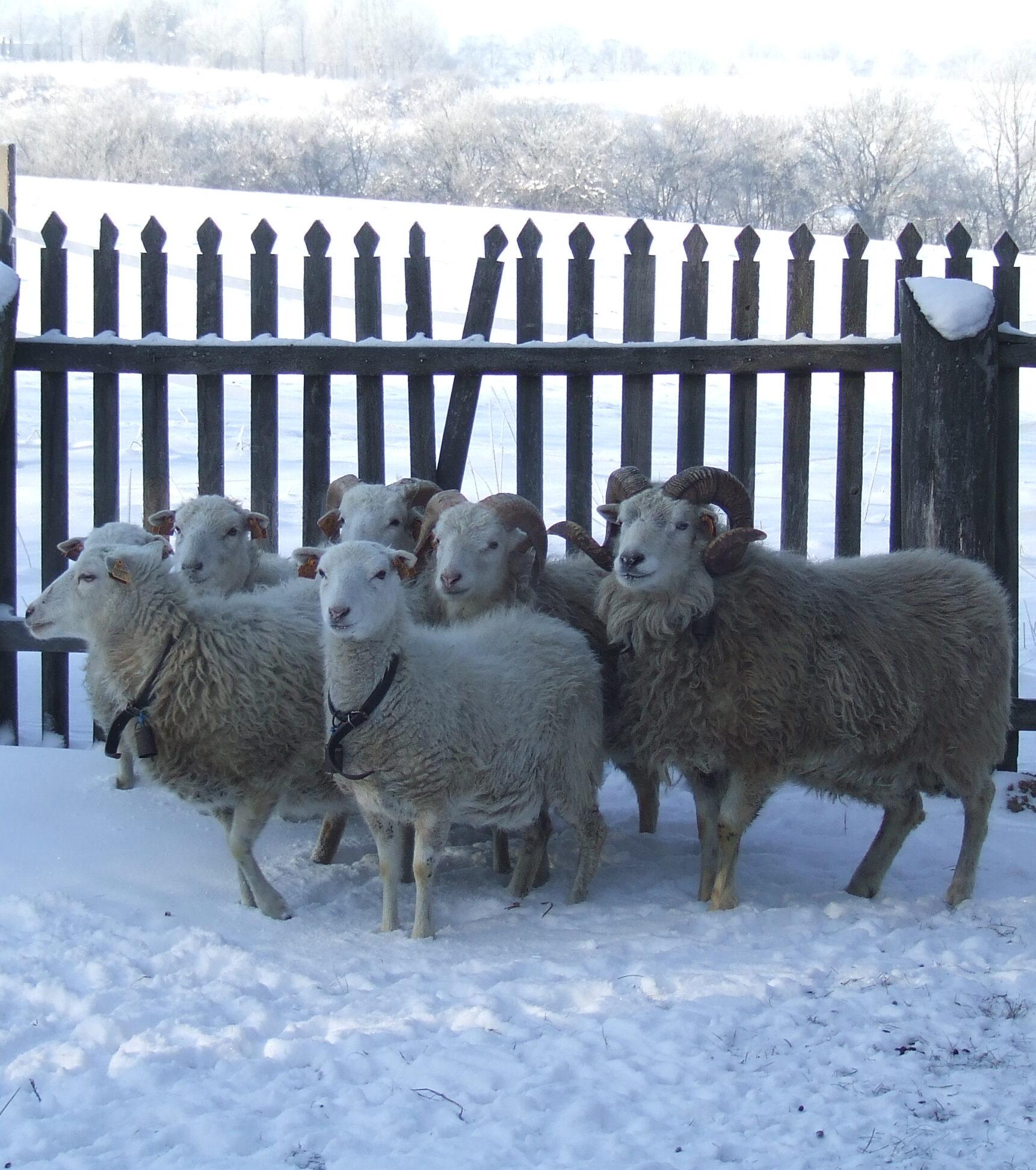 Owce skudde