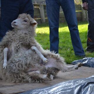 Owca podczas strzyżenia